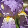 Grandma's Iris by Bev Veals