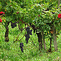 Grape Vines And Roses I by Greg Matchick
