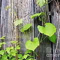 Grape Vines On An Old Barn by Sherman Perry