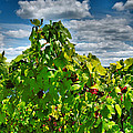 Grape Vines Up Close by Steven Ainsworth