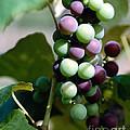 Grapes by Elizabeth Coats