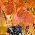Grapes On The Vine - Vertical by Karen  W Meyer