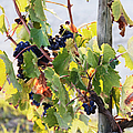 Grapes On Vine by Jeremy Woodhouse