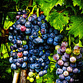 Grapes Ready For Harves by Tom Bell