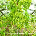 Grapevine by Tom Gowanlock