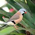 Grass Finch by Glennis Siverson