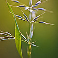 Grass In Flower by Heiko Koehrer-Wagner