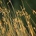 Grasses by Keith Levit