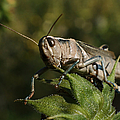 Grasshopper 2 by Ernie Echols