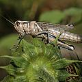 Grasshopper by Ernie Echols