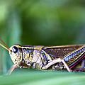 Grasshopper by Glenn Gordon