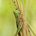 Grasshopper In Green by JD Grimes