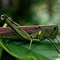 Grasshopper by Marty Fancy