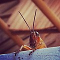 Grasshopper On My Rocker by Dana Coplin