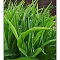 Grassy Drops by Debbie Portwood