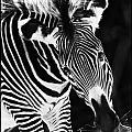 Gravy Zebra by Perla Copernik