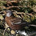 Gray-crowned Rosy Finch by Doug Lloyd