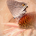 Gray Hairstreak Butterfly by Betty LaRue