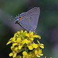 Gray Hairstreak Butterfly Din044 by Gerry Gantt