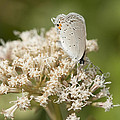 Gray Hairstreak Butterfly On Milkweed Wildflowers by Kathy Clark