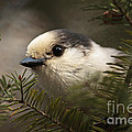 Gray Jay Playing Peek A Boo by Inspired Nature Photography Fine Art Photography