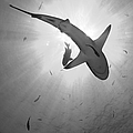 Gray Reef Shark, Kimbe Bay, Papua New by Steve Jones