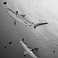 Gray Reef Sharks. Papua New Guinea by Steve Jones
