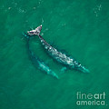 Gray Whale Mother And One-year-old Calf by Raul Gonzalez Perez