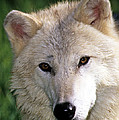 Gray Wolf Face by Larry Allan