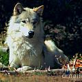 Gray Wolf ... Montana Art Photo by GiselaSchneider MontanaArtist