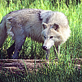 Gray Wolf Watching by Larry Allan