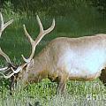 Grazing Bull Elk  by Jeff Swan