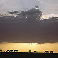 Grazing Cattle Silhouetted by James P. Blair