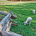 Grazing Farm Animals At Booker T. Washington National Monument Park by James Woody