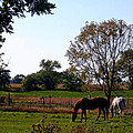 Grazing Horses by Kay Novy