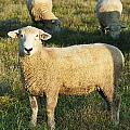 Grazing Sheep. by John Greim