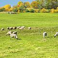 Grazing Sheep On Farm In Autumn Maine by Keith Webber Jr