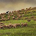 Grazing Sheep by Photography by Iñaki Gomez Marin