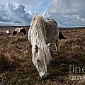 Grazing The Moor by Rob Hawkins