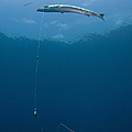 Great Barracuda Hooked With Fishing by Karen Doody