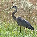 Great Blue Heron - Ardea Herodias by Mother Nature