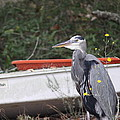 Great Blue Heron - Chicken Of The Sea by Travis Truelove