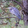 Great Blue Heron - Happy Place by Travis Truelove