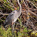 Great Blue Heron And Turtle by Bruce J Robinson