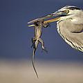 Great Blue Heron Ardea Herodias Preying by Tui De Roy