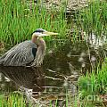 Great Blue Heron At The Marsh by Sharon Talson