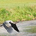 Great Blue Heron Begins Flight by Mary McAvoy