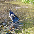 Great Blue Heron Catches Bass by Mary McAvoy
