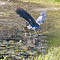 Great Blue Heron Catches Wide-mouth Bass by Mary McAvoy