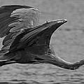 Great Blue Heron by Christopher Kulfan